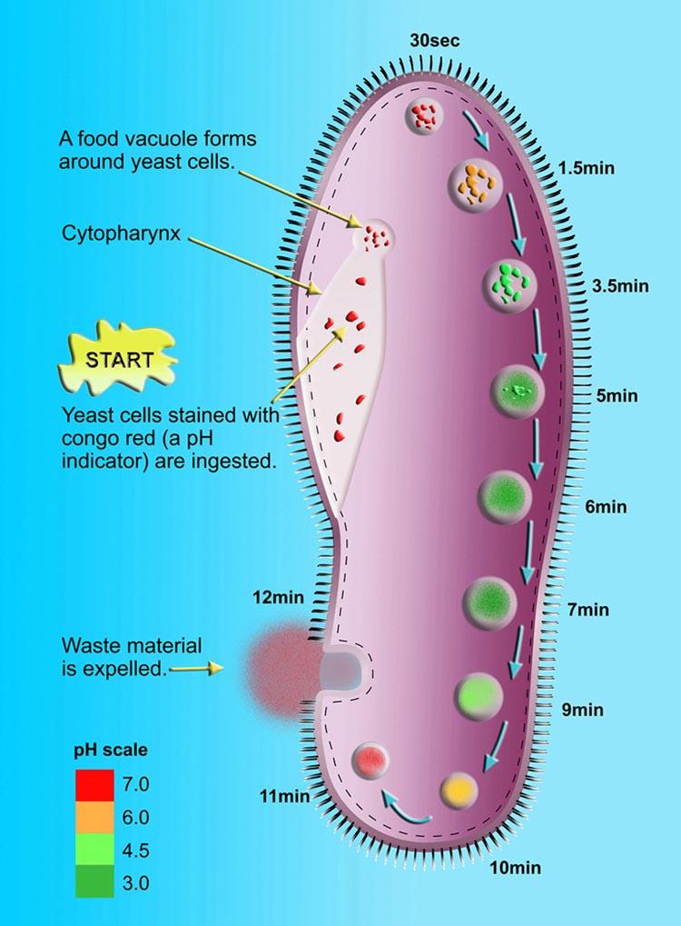 paramecium cell - photo #19